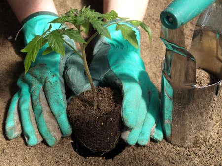tomate de arbol: Trabajo en el huerto: tomates trasplantar con guantes Foto de archivo