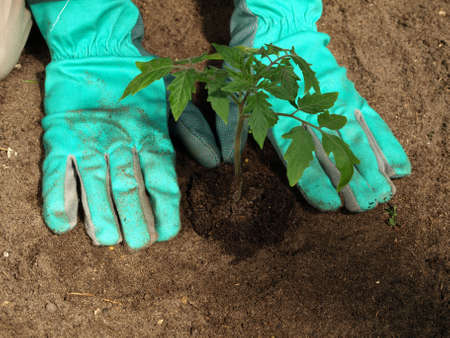 Garden work: transplanting tomato plant with gloves photo