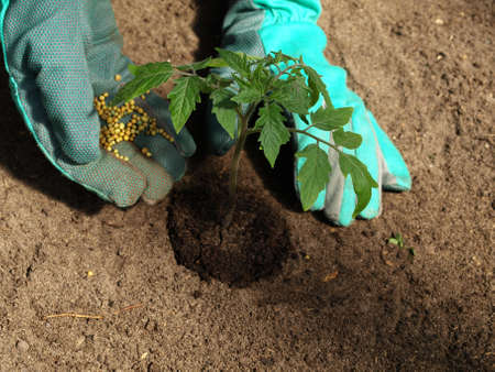 Garden work: putting fertilizer to tomato plant photo