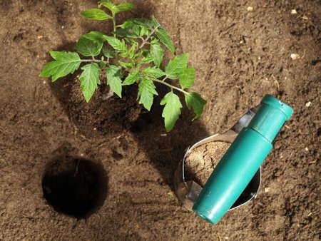 tomate de arbol: Poner planta de tomate en el agujero en el suelo Foto de archivo