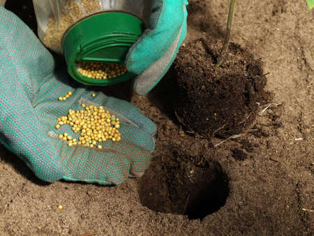 fertilizer: Putting fertilizer for a tomato plant into hole in the ground