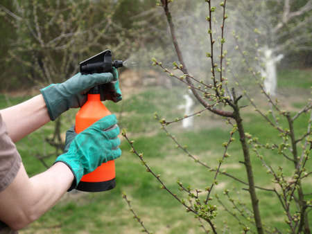spraying: Protecting plant from vermin, spring garden work Stock Photo