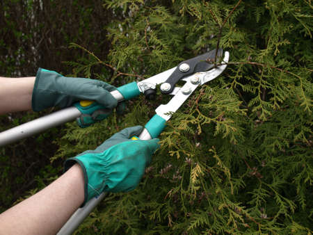 hand tool: Man workin in garden: shearing thuja tree