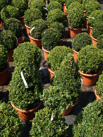 Green boxwood trees in flowerpots for sale photo