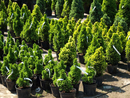 Garden store centre with many of coniferous trees