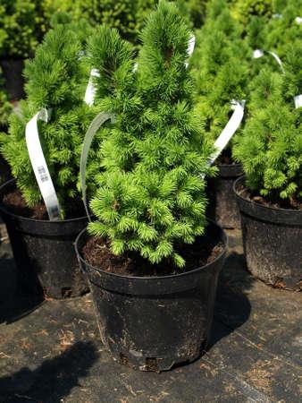 picea: Closeup of Picea Glauca Conica seedling in flowerpot