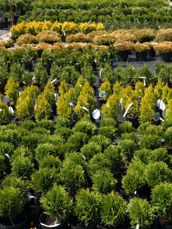 Young conifer seedlings for sale in garden center photo
