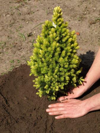 plantando arbol: La siembra de plántulas joven abeto verde en el jardín Foto de archivo