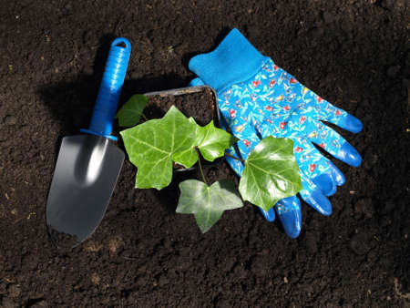 Ivy seedling and tools for a transplantation Stock Photo - 13710966