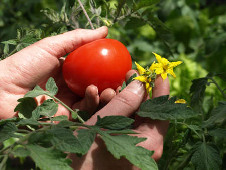 Mans hands holding tomato leaves, fruit and flower photo