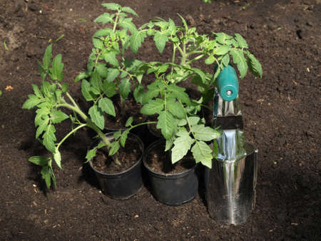 Seedlings of tomato in flowerpots and garden tool photo