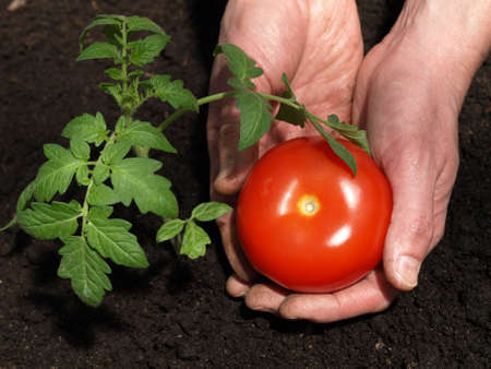 Tomato plant and hands holding tomato fruit photo