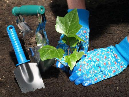 Planting ivy seedling in moist, black soil photo