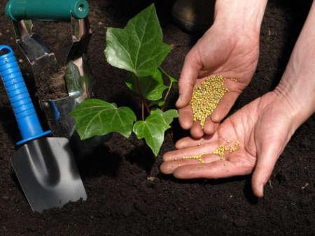 fertilizer: Garden work: putting fertilizer under ivy plant