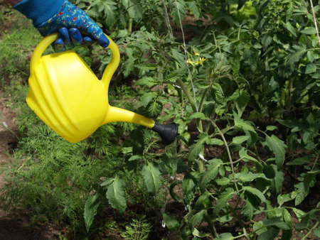 Garden work  watering tomato plants with watering can photo