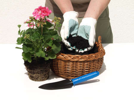Man planting a pink geranium in the wicker photo