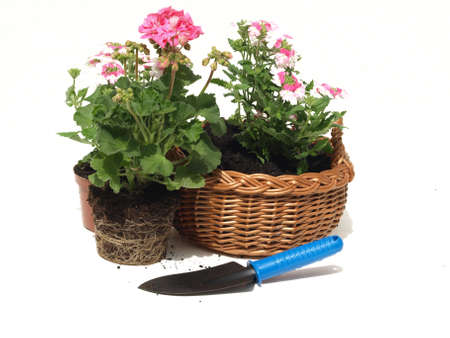 Wicker with the seedlings of flowers on white background photo