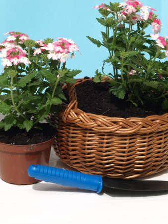 wicker work: Seedlings of flowers planted in pot and wicker