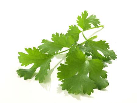 cilantro: Rama de cilantro sobre fondo blanco aislado
