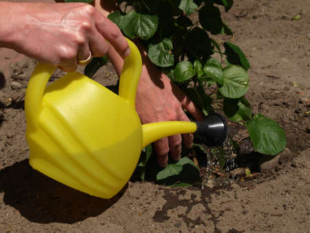 Man watering planted seedling with watering can photo