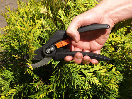 juniper tree: Gardener cutting branches with the help of shears Stock Photo