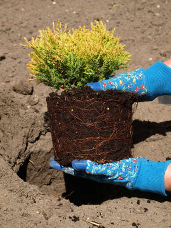 Juniper seedling planted by the gardener in soil photo