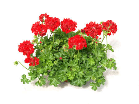 geranium: Beautiful red geranium plant on white isolated background