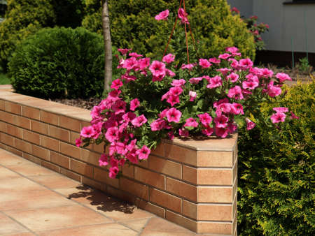 Petunia flowers set on terrace wall, closeup Stock Photo