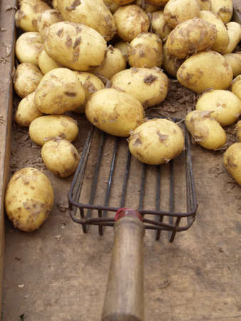Closeup of grocery table with potatoes and shovel Stock Photo - 14413733