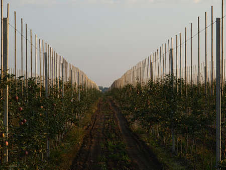 Young apple trees in a huge orchard photo