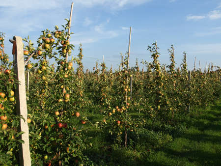 Ripe apples on trees in an orchard photo