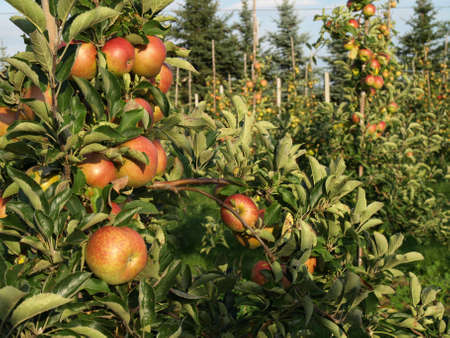 Apple tree with plenty of apple fruits photo