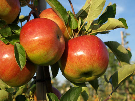 tree farming: Closeup of apples on tree in orchard Stock Photo