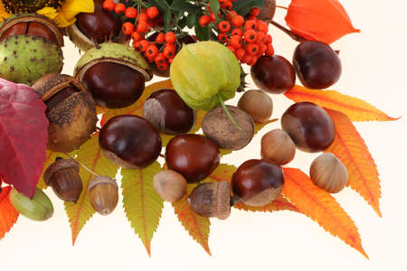 Acorns and chestnuts with red leaves, isolated Stock Photo - 16137776