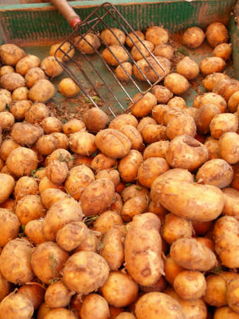 Closeup of new potatoes in market box with shovel photo