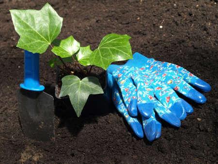 transplantation: Vorbereitung f�r die Transplantation von Efeu Pflanze, Werkzeuge