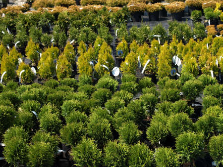 thuja: Outdoor garden store center with young seedlings Stock Photo