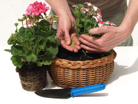 Putting fertilizer into the seedlings of geranium photo