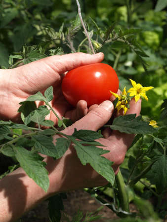 Fruit, leaves and flower of tomato plant photo