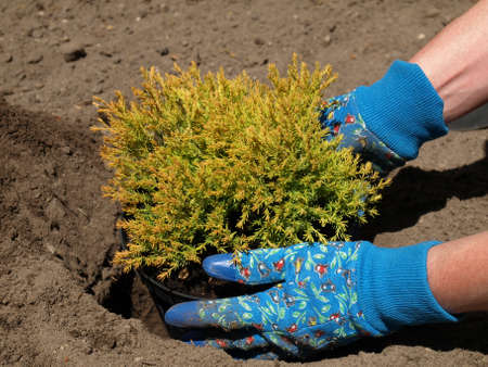 Gardener planting young conifer seedling in soil photo