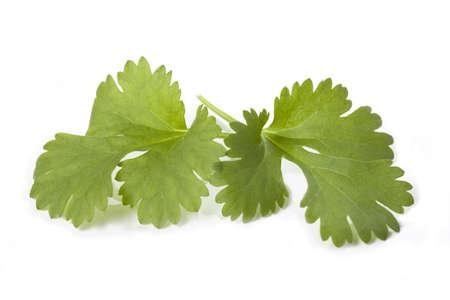 cilantro: Hojas de cilantro sobre fondo blanco aisladas, de cerca