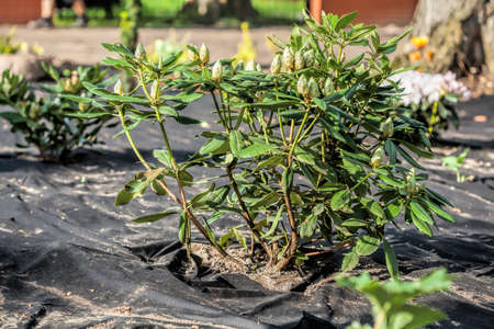 protects: Barrier weed mat protects azalea shrub  Stock Photo