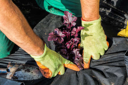 horticulturist: Horticulturist seeds plant into weed barrier sheet