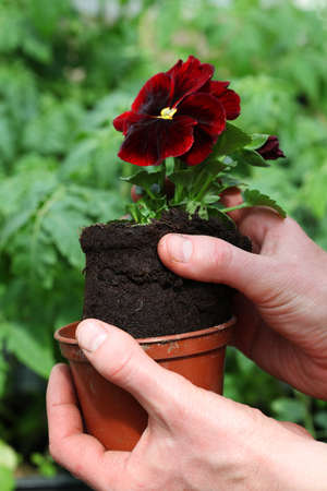 Potting young red pansy seedling photo