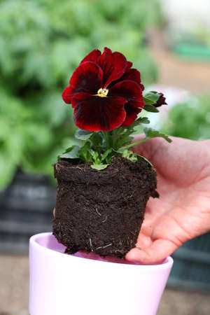 Potting seedling of red pansy photo