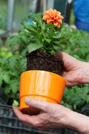 horticulturist: Putting dahlia seedling into orange flowerpot Stock Photo