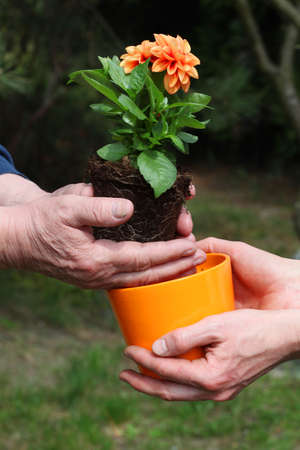 Putting orange dahlia seedling into new flowerpot photo