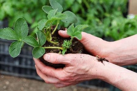 Gardener prepares strawberry seedling for planting