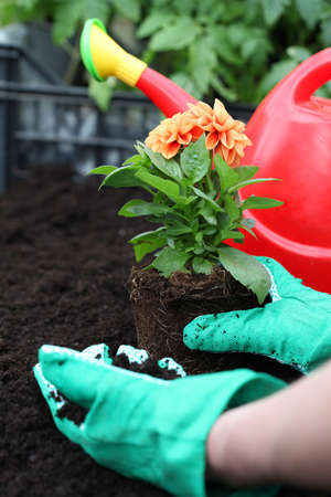Gardener prepares dahlia seedling for planting in soil Stock Photo - 20994454