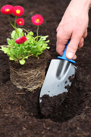 horticulturist: Planting red daisy seedling with roots in soil Stock Photo